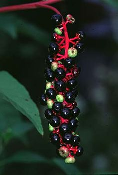 Pokeweed or  Phytolacca americana berries are an important food source for wild life. American Robin, Northern Mockingbird, Mourning Dove, Gray Catbird, Eastern Bluebird, Northern Cardinal, Great-crested Flycatcher, Eastern Kingbird, Eastern Phoebe, Yellow-bellied Sapsucker, European Starling, Brown Thrasher, Cedar Waxwing, Red Fox, Virginia Opossum, Raccoon, and White-footed Mouse all eat the berries.