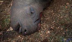 """ارتفاع سعر """"قرن"""" وحيد القرن يزيد من…: ارتفع سعر قرن حيوان وحيد القرن بشكل كبير، حيث يعتقد حاليًا بأن قيمته أكثر من وزنه ذهبًا، ما أدى إلى…"""