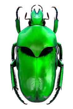 Ischiosopa lucivorax