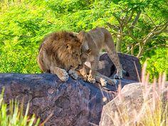 Animal Kingdom -- Kilimanjaro Safari
