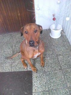 Sweet big dog <3 Ridgeback