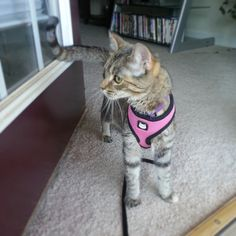 Chloe the kitten wants to go for a walk!