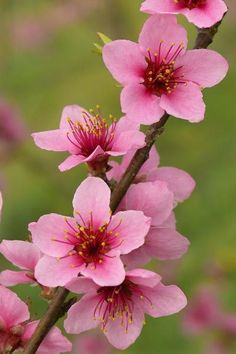 Delaware: Peach Blossom photography 50 State Flowers to Grow Anywhere Flowers Nature, Exotic Flowers, Spring Flowers, Pretty Flowers, Flowers Bunch, Tropical Flowers, Diy Flowers, Peach Blossom Flower, Peach Blossoms