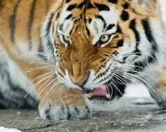 Siberian tiger / Tigre de l'amour