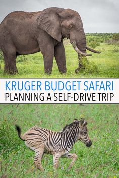 A self-drive safari in Kruger National Park is the cheapest way to go on safari in South Africa. It's easy, affordable and there's a huge variety of wildlife to see. Click through to learn everything you need to know to plan the perfect Kruger self-drive trip including costs, itineraries and the best rest camps.