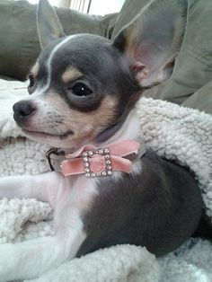 Beautiful blue chihuahua, much like Minnie Audrey except Minnie is Black and Tan x --- Check out our website now!