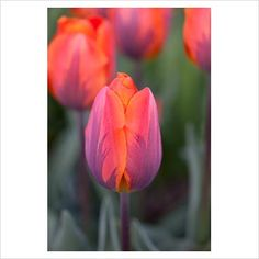 Tulipa 'Hermitage' single early Tulip April-May 40cm