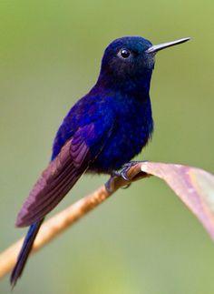 Royal Sunangel Hummingbird (Helianglus regalis) Peru