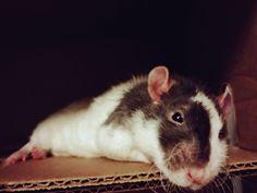 """im not a model"" #aww #cute #rat #cuterats #ratsofpinterest #cuddle #fluffy #animals #pets #bestfriend #ittssofluffy #boopthesnoot"