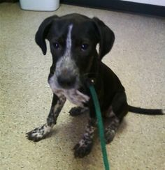 Katie is an adoptable German Shorthaired Pointer Dog in Westminster, SC.  ...