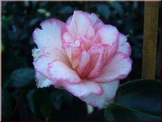 Okt. - Jan., Blüte 8-10 cm, Camellia japonica 'Shuchûka' (Japan, 1789)