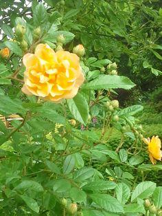 Twee Rosa Ghislaine de Filiegonde, zijn aangeplant in de Gele rozentuin in 2000. Deze Leirozen van de Noiset familie, staan aan twee grote zuilen. De kleine trosbloemetjes, zijn in knop zalmkleurig, waarna ze verkleuren in verschillende kleuren geel en uiteindelijk naar wit. in de herfst hebben ze tot laat in de winter ronde kleine botteltjes.