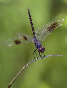 ✯ Male Four Spotted Pennant Dragonfly, Fairchild Tropical Botanic Garden .. By Pedro Lastra✯