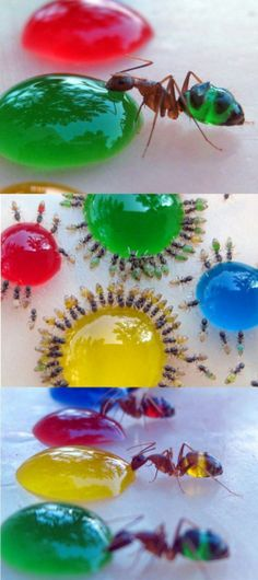 Amazing translucent ants eating colored liquid sugar! | Lulz Truck