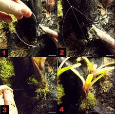 tying epiphyte to branch