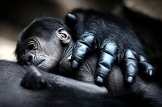mother gorilla hugs baby photo