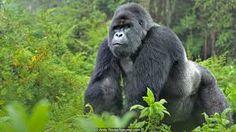 Image result for gorilla