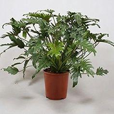 http://luftreinigende-pflanzen.de/ Philodendron