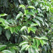 Google Image Result for http://www.bbc.co.uk/gardening/plants/plant_finder/images/large_db_pics/large/prunus_lusitanica.jpg