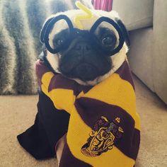 DanTDM's cute Harry potter pug lol!