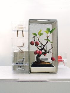 A clean, modern display; apple bonsai in a dark, rounded cornered pot is set inside another, slightly larger, rectangular pot & makes its home in a wire mesh box