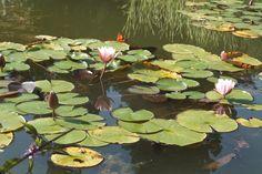 lilie wodne 4