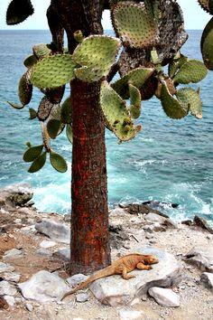 Galápagos Islands: Giant Prickly Pear Cactus