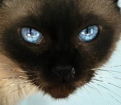 Siamese cat - they have the most gorgeous eyes!