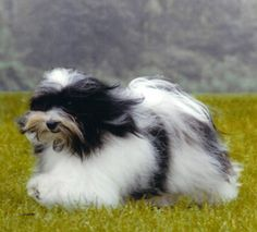 The Westminster Kennel Club | Breed Information: Havanese. Also saw one at Sky Nursery. He was full of life, very friendly to all of the staff, and VERY chatty! Originally from Cuba
