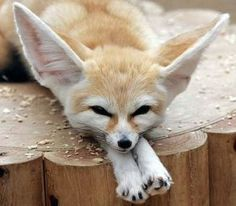 METAL MAGNET Fennec Fox Sleeping On Ground Large Ears Foxes MAGNET