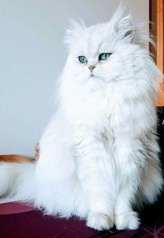 Persian Cat White My amazing Persian Prince White Persian Kittens, White Kittens, Cute Cats And Kittens, Baby Cats, I Love Cats, Kittens Cutest, Pretty Cats, Beautiful Cats, Fluffy Cat