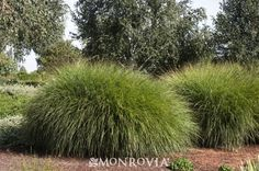 1000 images about deciduous ornamental grasses on for Tall ornamental grasses for screening
