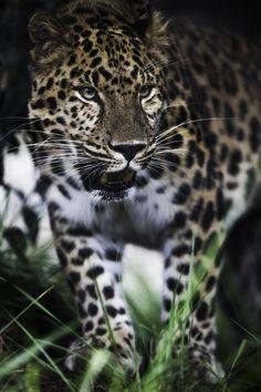 """sdzoo: """" Oskar, an Amur leopard by Paul Manaig """""""