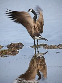 Canada Goose expedition parka outlet official - 1000+ images about Canada Geese for Gracie on Pinterest | Canada ...