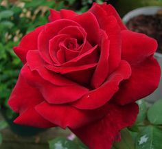 Mister Lincoln Rose    May be the best red Hybrid Tea of all times.   Long stems, dark leaves, great high-centered flowers that open fully and offer a wonderful damask fragrance.   Tall, vigorous and everblooming.