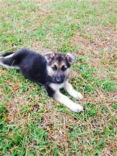 German Shepherd Pups CKC, 7 wks German shepherd pups ckc, 7 wks old, up to date…