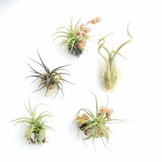 Air Plant Magnet- Small