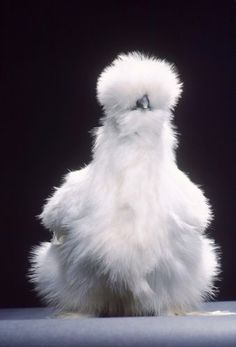 Silkie bearded white. Good broody hens, silkies will sit on eggs that your hen/quail won't. Nature's Incubators!
