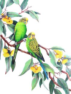 Color Pencil Drawing Ideas Budgies - SOLD This very loveable pair of budgies are relaxing in the branches of a Mallee gum. This drawing is to be featured in a 2018 Calendar. Australian Parrots, Australian Native Flowers, Bird Illustration, Botanical Illustration, Bird Artwork, Budgies, Art Challenge, Botanical Art, Watercolor Paintings
