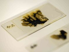 brain slices - Google Search WOW preserved slices of Einsteins brain!! would be interesting to take a look at those!