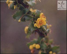 Berberis actinacantha | Especie | Enciclopedia de la Flora Chilena