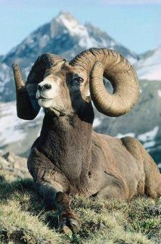 A Big Horn Sheep.