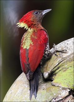 Banded Woodpecker - A bird more often heard than seen, the Banded Woodpecker has a loud piercing call that sounds like someone screaming.