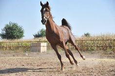 """Suruç'un """"şampiyon"""" atları Şanlıurfa'nın Suruç ilçesinde 60'dan fazla çiftlikte yetiştirilen yarış atları, hipodromlarda sergiledikleri başarılarla sahiplerine önemli miktarlarda gelir sağlıyor."""