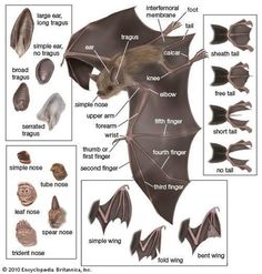 Isle of Wight Bat Hospital  Interesting diagram showing the anatomy of a bat