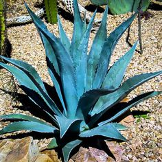False Agave is an excellent plant for enriching your landscape. Along with being an impressive focal point like other Agaves, this one has the Agaves, Succulent Landscaping, Landscaping Tips, Water Plants, Garden Plants, Gravel Garden, Agave Americana, Aloe Vera, Architectural Plants