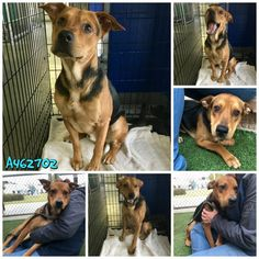 German Shepherd Dog dog for Adoption in San Antonio, TX. ADN-752961 on PuppyFinder.com Gender: Male. Age: Young