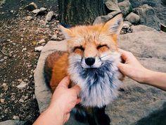 Imagem de fox, animal, and cute