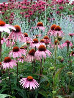 Echinacea purpurea 'Magnus'   Moose Crossing Garden Center - Maine Garden Center