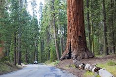 giant sequoia national monument   Sequoia National Forest